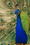 Oregon_zoo_peacock_male